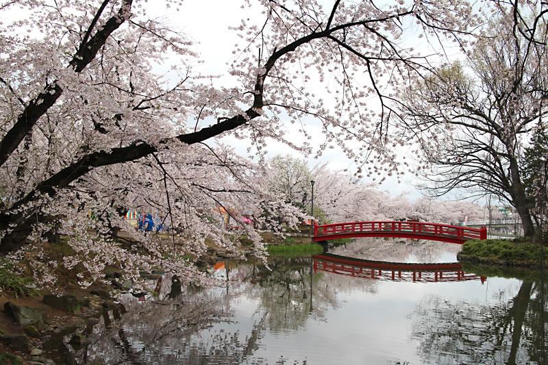 臥竜公園、須坂市の桜 開花状況...